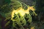 fish_sea_dragon_leafy_hi
