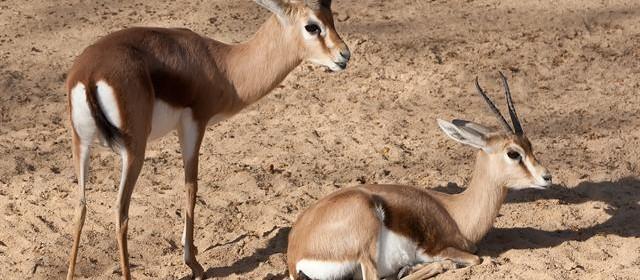 gazelle dorcas 2