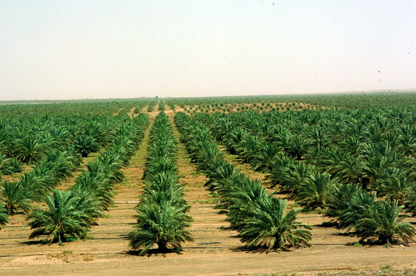 oasis palmier