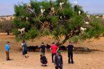 Des chèvres dans un arganier