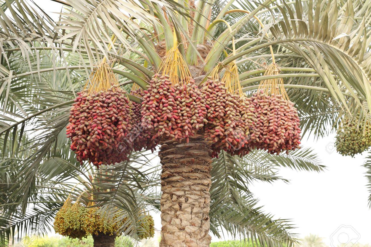 palmiers dattes