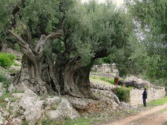 Olivier âgé de plus de 5000 ans à Beitlahm en Palestine