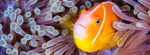 سمكة المهرج. تغذينا المحيطات، وتنظم مناخنا، وتولد معظم الأكسجين الذي نتنفس. ولكن على الرغم من أهميتها، تواجه المحيطات تهديدات غير مسبوقة نتيجة للنشاط البشري. ©Grant Thomas/Coral Reef Image Bank.
