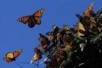 فراشات ملكية تطير فوق جبل بالمكسيك.